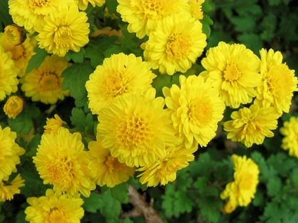 菊花ポリフェノールのイメージ